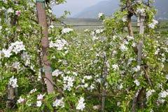 Apple-bloemenbomen Royalty-vrije Stock Foto's