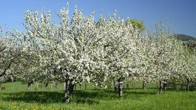 Apple-bloesem, aanplanting in Duitsland, in Eislingen met de famouseheuvel Hohenstaufen stock video