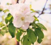 Apple-bloesem bij zonnige dag Stock Foto