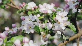 Apple-bloesem, bomen met roze en witte bloemen stock footage