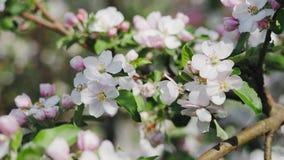 Apple-bloesem, bomen met roze en witte bloemen royalty-vrije stock afbeeldingen
