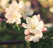 Apple-bloesem in boomschaduw, close-up Stock Foto