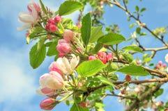 Apple-bloesem in de lente stock foto