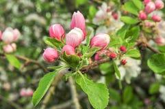 Apple-bloesem in de lente stock afbeelding