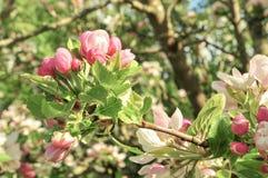 Apple-bloesem in de lente stock afbeeldingen