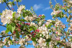 Apple-bloesem in de lente royalty-vrije stock foto's