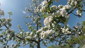 Apple-bloesem in Duitsland stock video