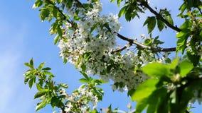 Apple-bloesem in Duitsland, detail van het tot bloei komen stock footage