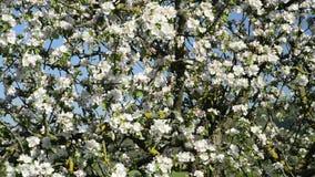 Apple-bloesem in Duitsland, detail van het tot bloei komen stock video