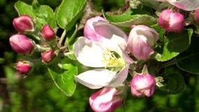 Apple-bloesem (Malus-domestica) stock videobeelden