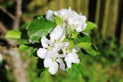 Apple-bloesem op tak van appelboom in de lente stock foto's