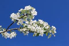 Apple-bloesem tijdens de magische lente royalty-vrije stock foto