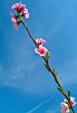 Apple-bloesembloemen Royalty-vrije Stock Afbeelding