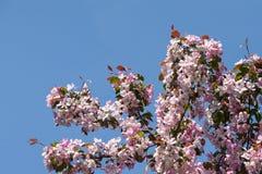 Apple-bloesemboom op blauwe hemelachtergrond Royalty-vrije Stock Foto