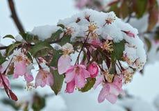 Apple-bloesems met sneeuw worden behandeld die Royalty-vrije Stock Fotografie