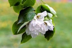 Apple-Bloesems op een boom Engels groen gras als achtergrond Royalty-vrije Stock Afbeelding