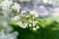 Apple-Bloesems op een boom Engels groen gras als achtergrond 2 Stock Foto