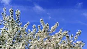 Apple-Bloesems op een boom Engelse blauwe hemel als achtergrond 2 Stock Foto