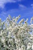 Apple-Bloesems op een boom Engelse blauwe hemel als achtergrond Royalty-vrije Stock Fotografie