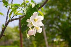 Apple blom Royaltyfri Fotografi