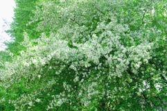 Apple blom Arkivbilder