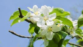 Apple blomma Royaltyfri Fotografi