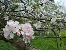 Apple blomma Arkivbild