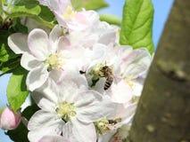 Apple blomma arkivfoton