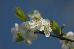 Apple blomma Royaltyfria Bilder