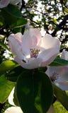 Apple blomma i solen Fotografering för Bildbyråer