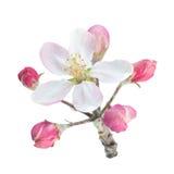 Apple blomma med bladet Arkivfoto