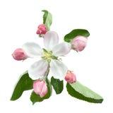 Apple blomma med bladet Royaltyfri Fotografi