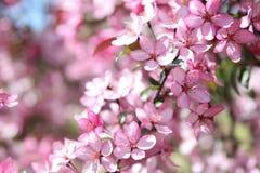 Apple blommabakgrund Arkivbild