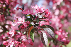 Apple blommabakgrund Royaltyfri Foto