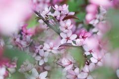 Apple blommabakgrund Arkivfoton
