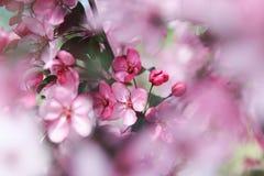 Apple blommabakgrund Royaltyfri Bild