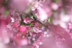 Apple blommabakgrund Arkivfoto
