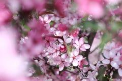 Apple blommabakgrund Arkivbilder