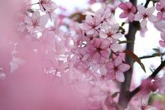 Apple blommabakgrund Royaltyfri Fotografi