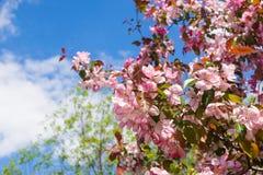 Apple blommar över blå himmel royaltyfria bilder
