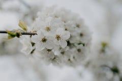 Apple blommar i trädgården fotografering för bildbyråer