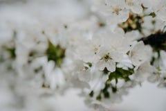 Apple blommar i trädgården arkivfoto