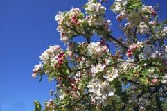 Apple blommar i vår mot blå himmel arkivfoton