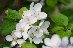 Apple blommar närbild på bakgrunden av ljust - grön lövverk av Apple sidor Royaltyfri Bild
