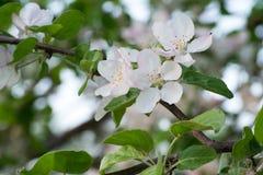 Apple blommar närbild på bakgrunden av ljust - grön lövverk av Apple sidor Arkivfoton