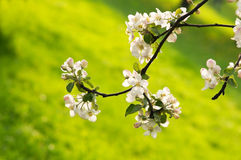 Apple blommar på den abstrakt suddiga bakgrunden Royaltyfri Foto