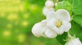 Apple blommar på den abstrakt suddiga bakgrunden Arkivbild