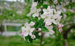 Apple blommar på trädgården i Akita, Japan Royaltyfria Bilder