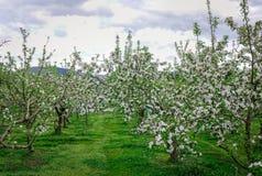 Apple blommar på trädgården i Akita, Japan Arkivfoto