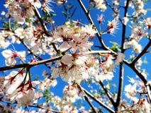 Apple blommar på våren royaltyfri fotografi